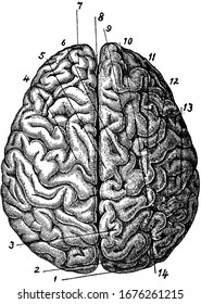 This is the top view of the brain which also consists of different parts. Brain is the most complex organ in all living beings. Different parts of brain is also labeled in the picture, vintage