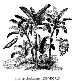This is the lot of trees that produces the tropical fruit banana. Banana tree has long & broad leaf, vintage line drawing or engraving illustration.