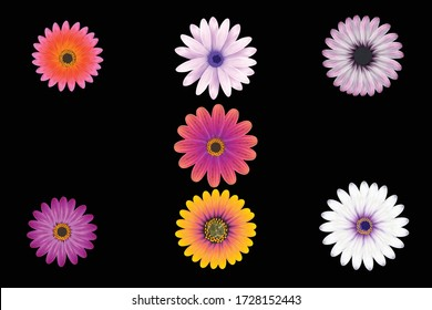 This is vector of African daisy in black background.