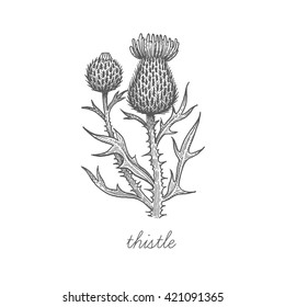 Thistle flower. Vector plant isolated on white background. Designed to create package of health and beauty natural products.