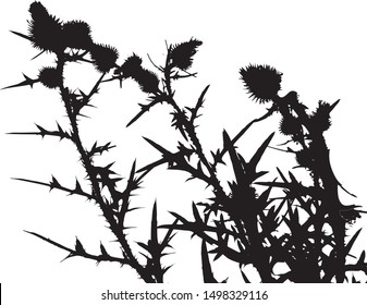 Thistle flowers silhouette close-up. Thorny leaves of the plant. Wildflowers. Long spiky leaves on stems with small flowers. Isolated vector illustration. Black on white.