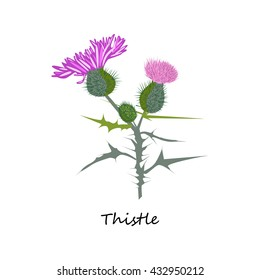 Thistle. Hand drawn illustration of a thistle flower and bud with accurate details in flat style. Isolated on white background. vector eps10