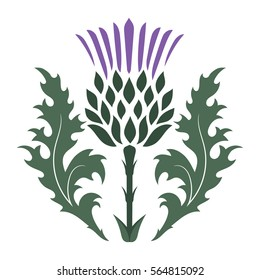 Thistle. Onopordum acanthium. Scottish Thistle isolated on white, vector illustration