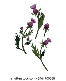 Thistle plant set. Vector violet thistle. Outline flower. Isolated on white background