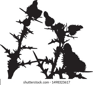 Thistle plant silhouette. Small flowers in a bouquet on long stems. Meadow flowers. Long narrow leaves on stems with small flowers. Isolated vector illustration. Black on white.
