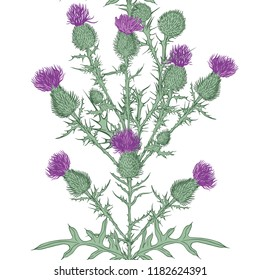 Thistle. Vector seamless border pattern. Hand drawn  illustration on a white background. Sketch style.