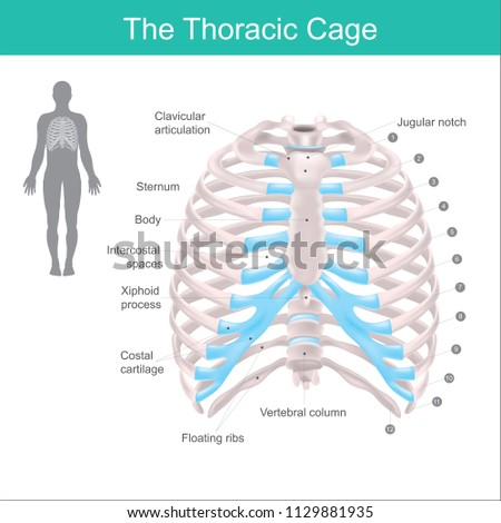 Thoracic Cage Made Bones Cartilage Along Stock Vector Royalty Free