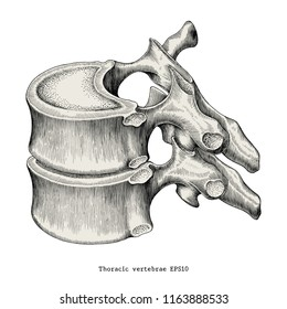 Thoracic vertebrae anatomy vintage illustration clip art isolated on white background