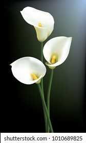 Three calla lilies isolated on a dark background