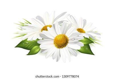 Three chamomile or daisies with leaves isolated on white background. Realistic Vector