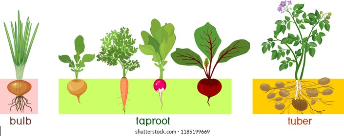 With wildly varying characteristics and flavors ranging from earthy to sweet roots and tubers are arguably natures most nutritious economical and versatile foods