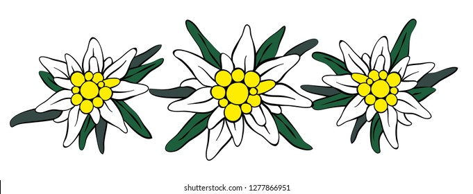 Three Edelweiss flowers