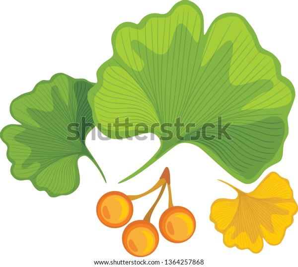 three-ginkgo-biloba-leaves-nuts-600w-136