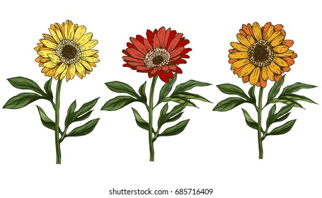 Three hand drawn yellow and red daisy flower with stem and leaves isolated on white background. Botanical vector illustration