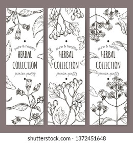 Three labels with Atropa belladonna aka belladonna, Cinchona officinalis aka quinine and Crataegus monogyna aka common hawthorn sketch. Green apothecary series.