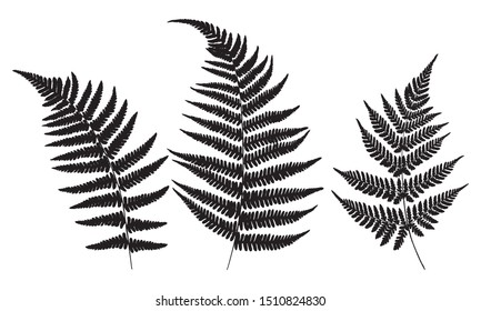 Three leaves of fern. Black isolated prints of fern leaves on the white background. Vector illustration.