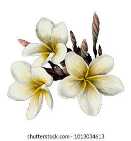 three Magnolia flower sketch vector graphics color picture