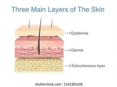 Three main layer of the human skin. Illustration about medical diagram.