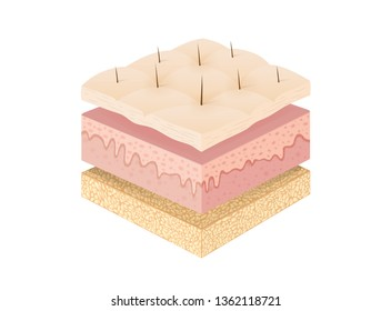 Three main layer of the human skin with 3 dimension. Illustration about medical diagram.