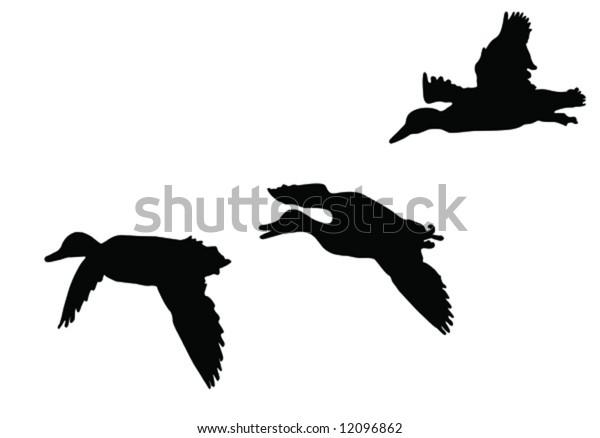 three mallard ducks   flying