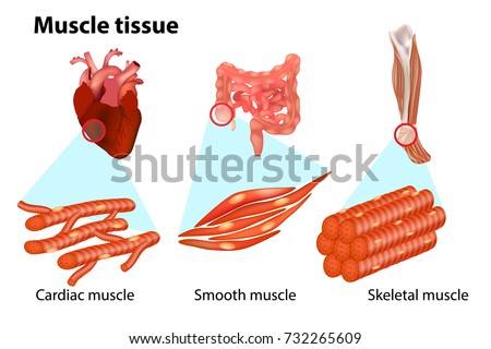 THREE TYPES MUSCLE TISSUE Anatomy Muscular Stock Vector (Royalty ...