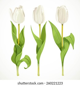 Three vector white tulips isolated on a white background