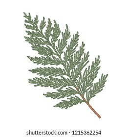 Thuja hand drawn branch, engraved botanical decor. Vector sketch illustration isolated on white background for greeting card, banner, website and holiday decor