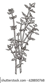 Thyme illustration, drawing, engraving, ink, line art, vector
