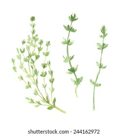 Thyme vector watercolor illustration