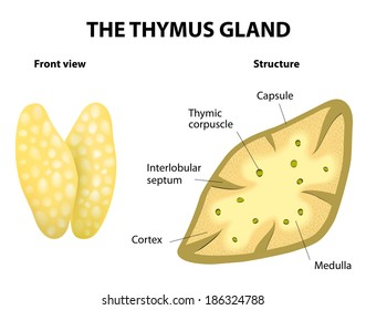 Thymus structure. Vector diagram. Gland lies in the thoracic cavity, just above the heart. It secretes thymosin.