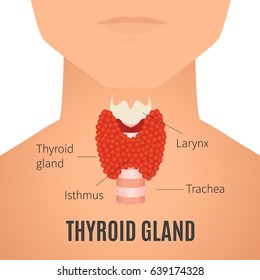 Thyroid gland diagram. Thyroid gland and trachea shown on a silhouette of a man. Body anatomy sign. Human endocrine system. Medical internal organ vector illustration.