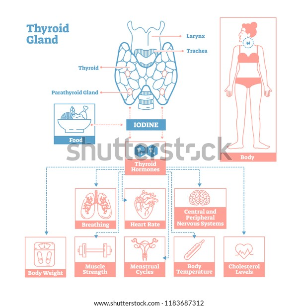 Thyroid Gland Endocrine Systemmedical Science Vector Stock Vector