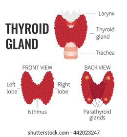 Thyroid gland front and back view on white background. Human body organs anatomy icon. Thyroid diagram scheme sign. Medical concept. Isolated vector illustration.
