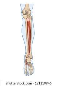 Tibialis Posterior Anatomy Of Leg And Foot Human Muscular System