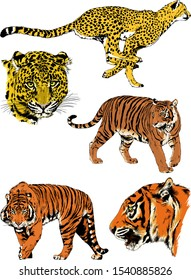 tiger and leopard snarling muzzles drawn in ink by hand, vector without background