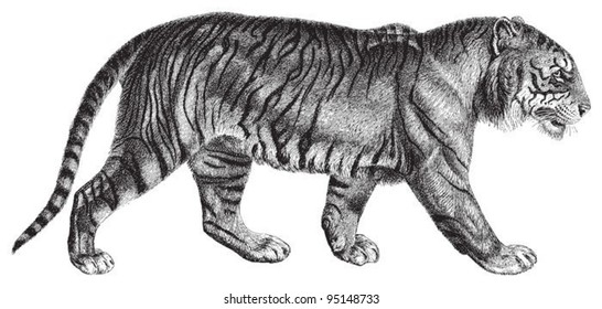 Tiger (Panthera tigris) / vintage illustration from Meyers Konversations-Lexikon 1897
