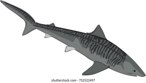 Tiger shark illustration