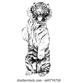 the tiger stands on hind legs with open mouth sketch vector graphics black and white drawing