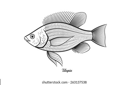 tilapia fish outline vector illustration