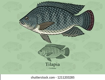Tilapia. Vector illustration with refined details and optimized stroke that allows the image to be used in small sizes (in packaging design, decoration, educational graphics, etc.)