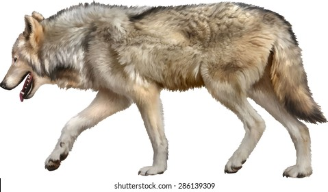 Timber Wolf walking, old European wolf - Canis lupus lupus in front of a white background