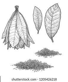 Tobacco plant leaf illustration, drawing, engraving, ink, line art, vector