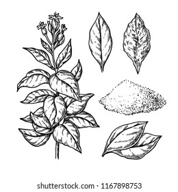 Tobacco vector drawing. Plant with flowers, Fresh and dried leaves. Botanical hand drawn illustration. Plant sketch. Engraved isolated objects. Great for shop label, emblem, sign, packaging
