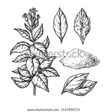 Tobacco Vector Drawing Plant Flowers Fresh Stock Vector Royalty