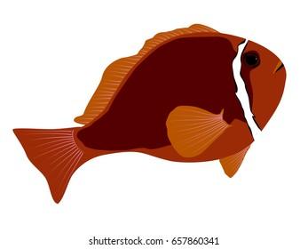 Tomato anemonefish illustration
