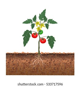Tomato bush with fruits and flowers. Vector illustration