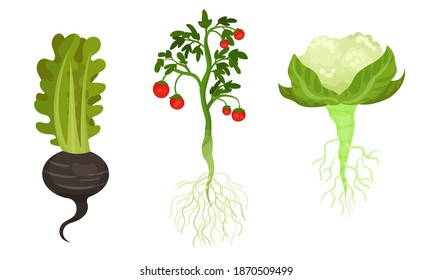 Tomato and Cabbage as Fresh Vegetables with Rootstock and Top Leaves Vector Set