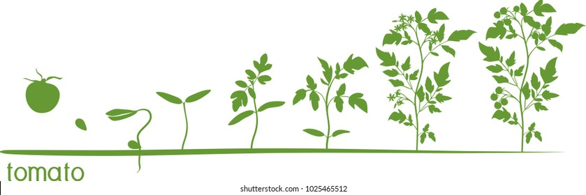 Tomato plant growth cycle with silhouettes of plants