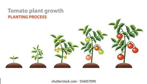 tomato plant images stock photos vectors shutterstock rh shutterstock com Parts of a Plant Diagram tomato plant pencil diagram