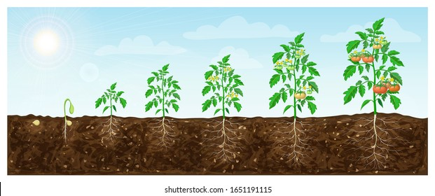 tomato plant growth stages from seed to flowering and ripening. illustration of tomato feld and life cycle of healthy tomatoes plants with underground roots system in nature. organic gardening.